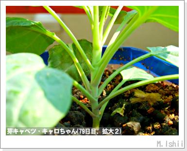 ペット栽培III(芽キャベツ)20