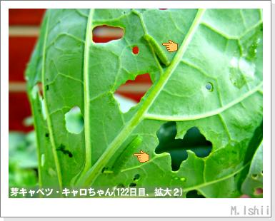 ペット栽培III(芽キャベツ)26
