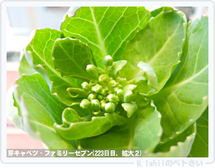 ペトさい(芽キャベツ)56