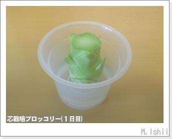 ブロッコリーの芯栽培05