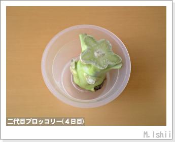 ブロッコリーの芯栽培10