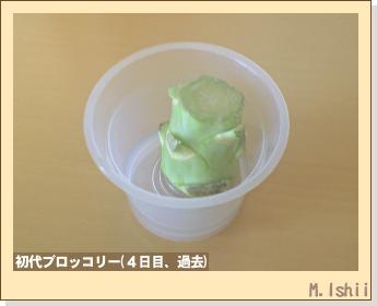 ブロッコリーの芯栽培11