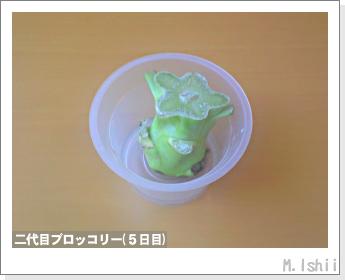 ブロッコリーの芯栽培12