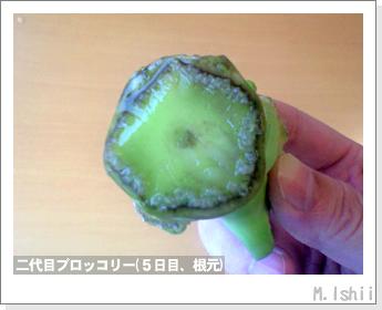 ブロッコリーの芯栽培13