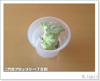 ブロッコリーの芯栽培14