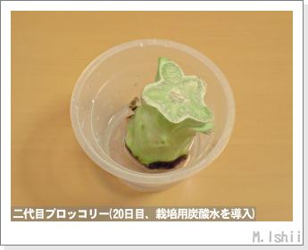 ブロッコリーの芯栽培16