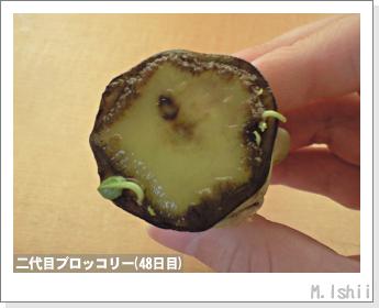 ブロッコリーの芯栽培18