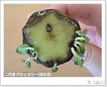 ブロッコリーの芯栽培19