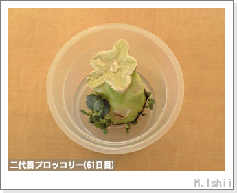 ブロッコリーの芯栽培20