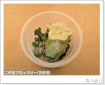 ブロッコリーの芯栽培21