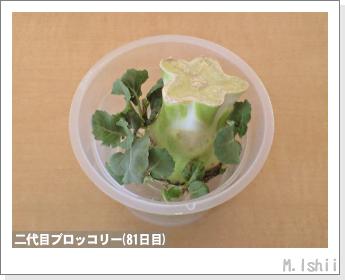 ブロッコリーの芯栽培22