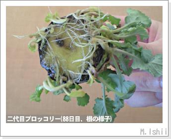 ブロッコリーの芯栽培24
