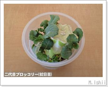 ブロッコリーの芯栽培25