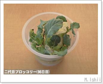 ブロッコリーの芯栽培26