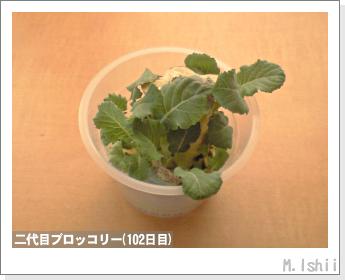 ブロッコリーの芯栽培27