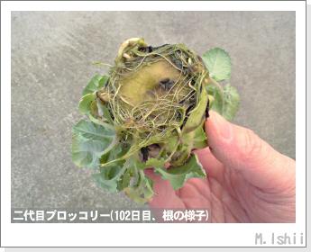 ブロッコリーの芯栽培28