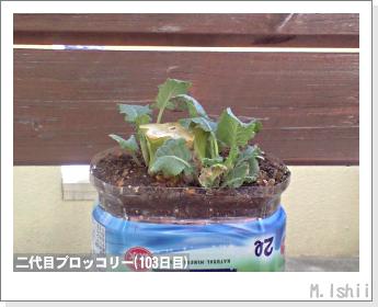 ブロッコリーの芯栽培29