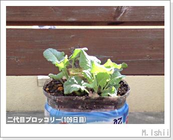 ブロッコリーの芯栽培30