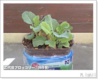 ブロッコリーの芯栽培31