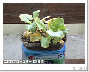 ブロッコリーの芯栽培32