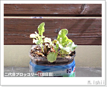 ブロッコリーの芯栽培33
