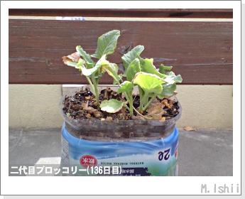 ブロッコリーの芯栽培34