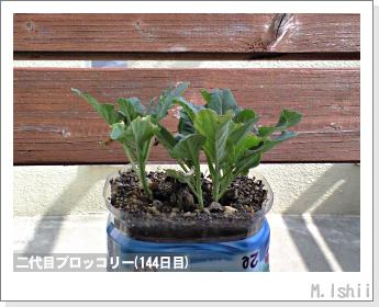 ブロッコリーの芯栽培35