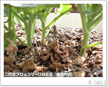 ブロッコリーの芯栽培36
