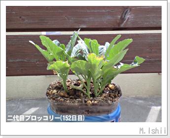 ブロッコリーの芯栽培37