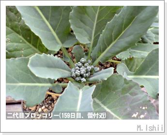 ブロッコリーの芯栽培39