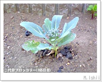 ブロッコリーの芯栽培40