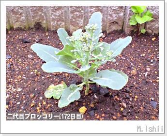 ブロッコリーの芯栽培41