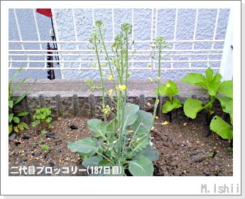 ブロッコリーの芯栽培42