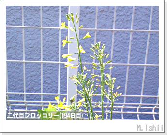 ブロッコリーの芯栽培43