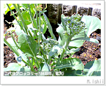 ブロッコリーの芯栽培44