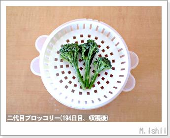 ブロッコリーの芯栽培45