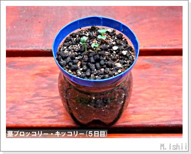 ペット栽培III(茎ブロッコリー)04