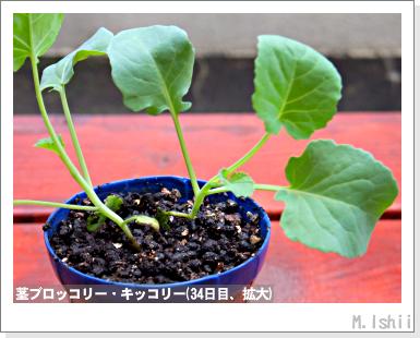 ペット栽培III(茎ブロッコリー)13