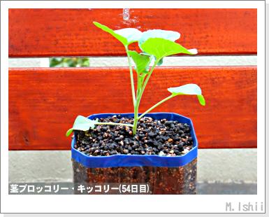 ペット栽培III(茎ブロッコリー)18
