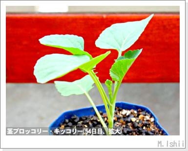 ペット栽培III(茎ブロッコリー)19