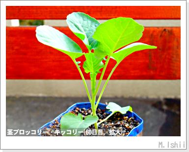 ペット栽培III(茎ブロッコリー)21