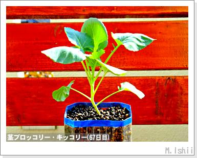 ペット栽培III(茎ブロッコリー)23