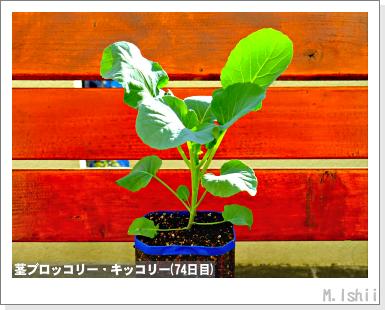 ペット栽培III(茎ブロッコリー)25