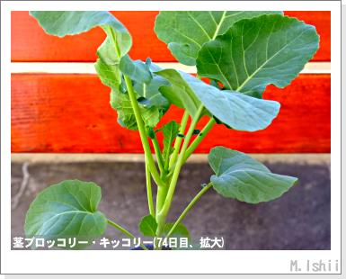 ペット栽培III(茎ブロッコリー)26