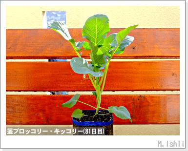ペット栽培III(茎ブロッコリー)27