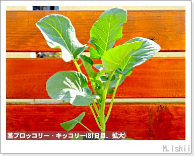 ペット栽培III(茎ブロッコリー)28