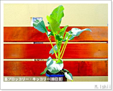 ペット栽培III(茎ブロッコリー)29