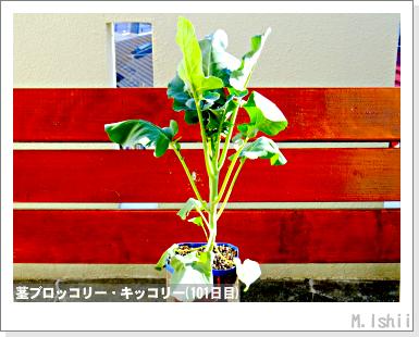 ペット栽培III(茎ブロッコリー)31