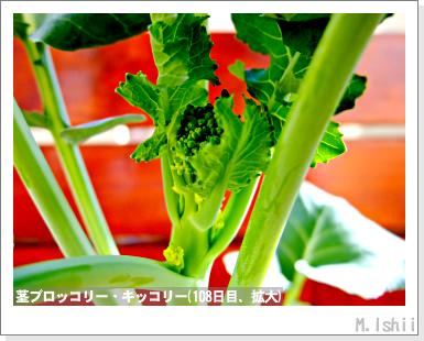 ペット栽培III(茎ブロッコリー)34