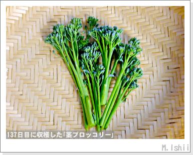 ペット栽培III(茎ブロッコリー)43
